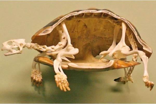 las tortugas tienen equeleto