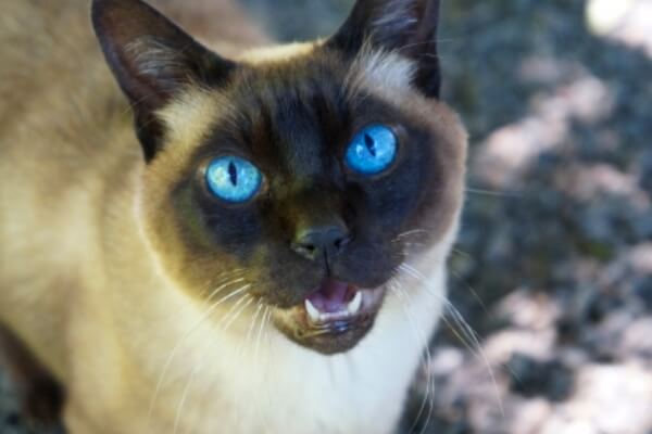 gato siames adopción