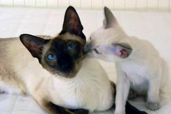 cuáles son los gatos siameses