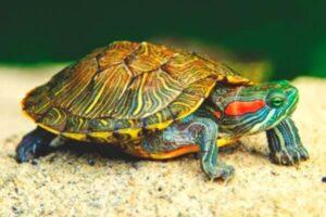 cuántos años viven las tortugas