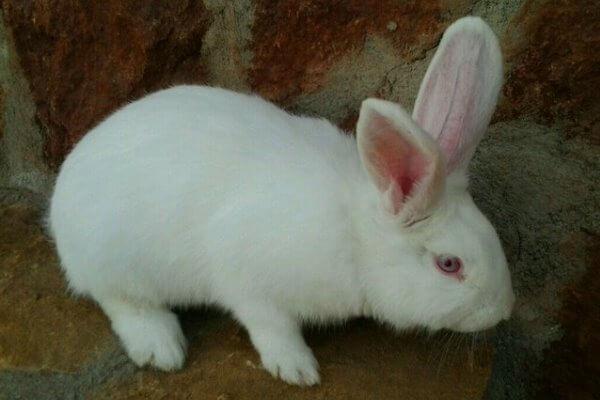 raza de conejo Bouscat características