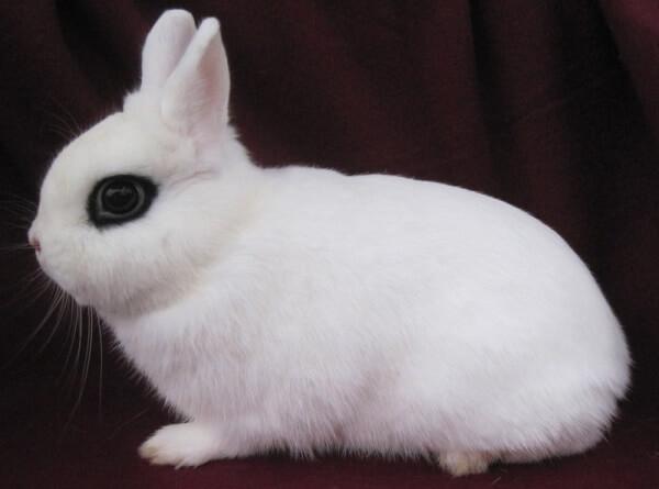 raza de conejo Blanco de Hotot