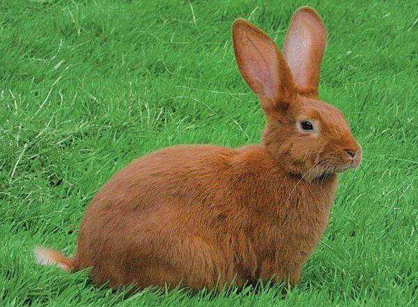 raza de conejo rojo de Borgoña características