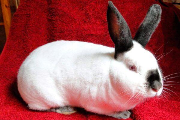 raza conejos ruso características