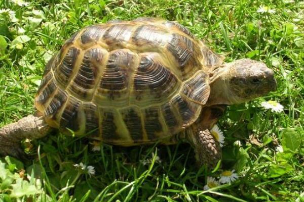 qué es la tortuga