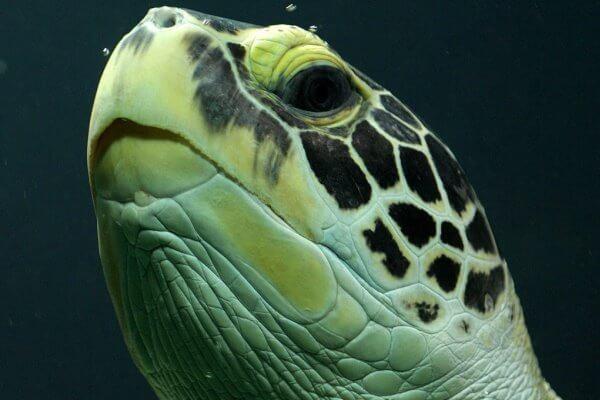 cómo ven las tortugas