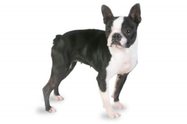 perro Boston terrier