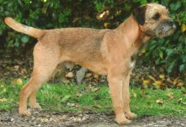 apariencia border terrier