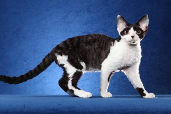 Devon Rex gato