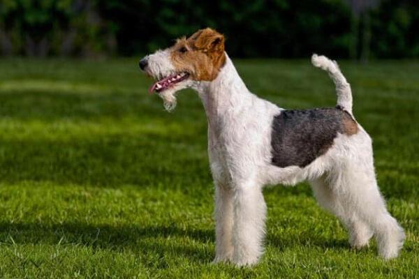 aspecto físico fox terrier