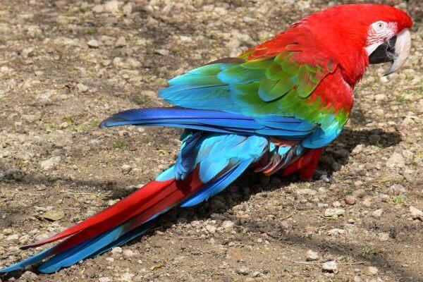 Guacamayo rojo de alas verdes