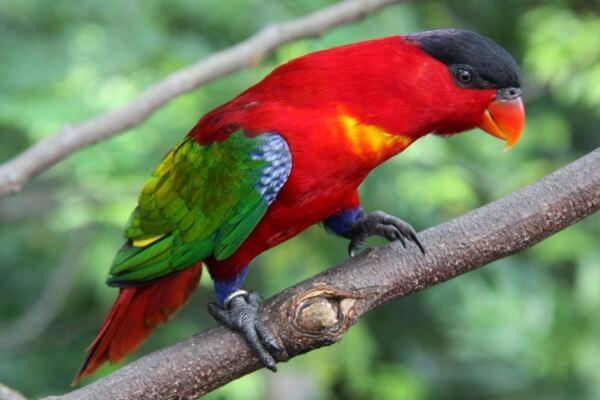 lori tricolor reproducción
