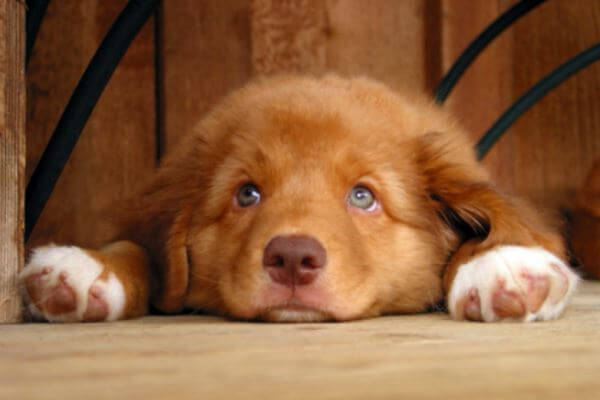 nova scotia duck tolling retriever criadero