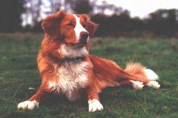 cuidados raza de perro retriever nueva escocia