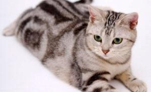 colores del gato americano de pelo corto