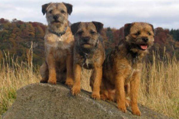 taxonomia border terrier