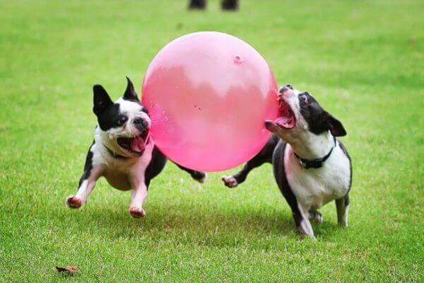 cómo adiestrar boston terrier