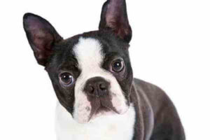anatomía boston terrier
