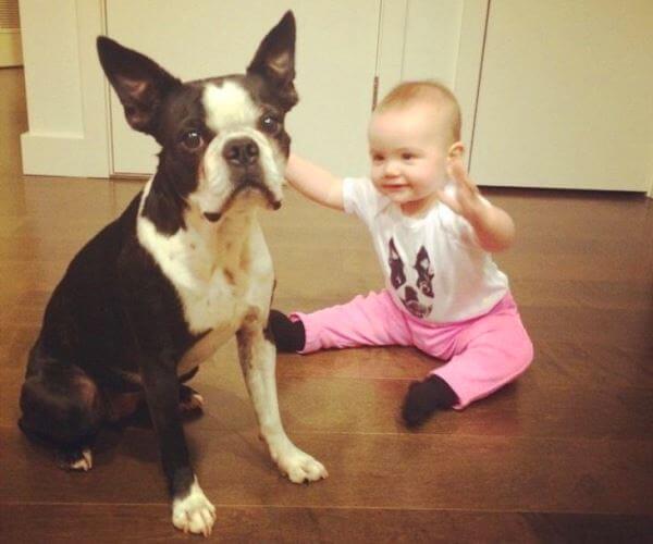 cómo es el carácter del boston terrier