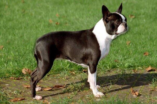 boston terrier descripción