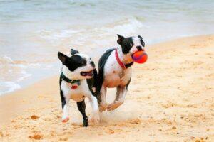 cómo es el comportamiento del boston terrier