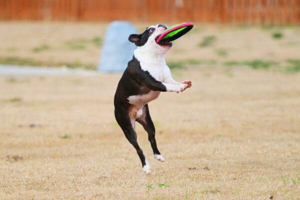 cómo educar boston terrier
