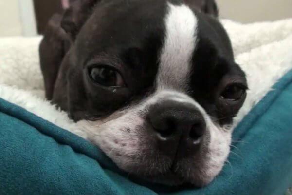 enfermedades típicas boston terrier