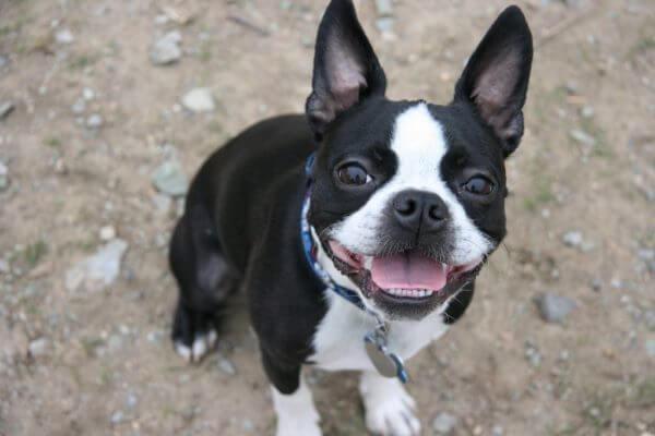 cuál es el origen del boston terrier