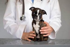 problemas de salud boston terrier