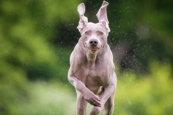 cómo es el temperamento del perro weimaraner