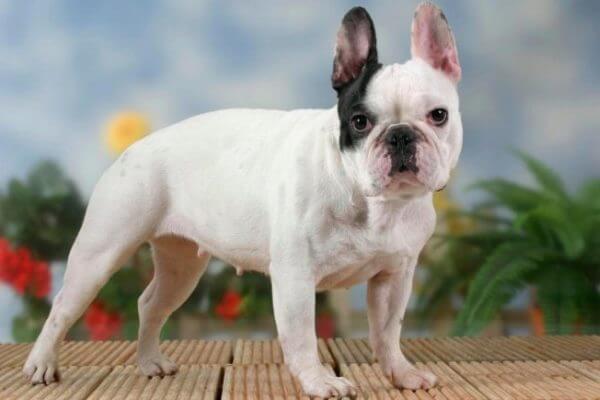 cuál es la historia del bulldog francés