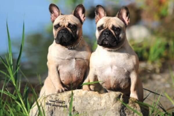 cuál es el origen del bulldog francés
