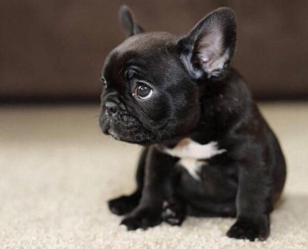 enfermedades características bulldog francés