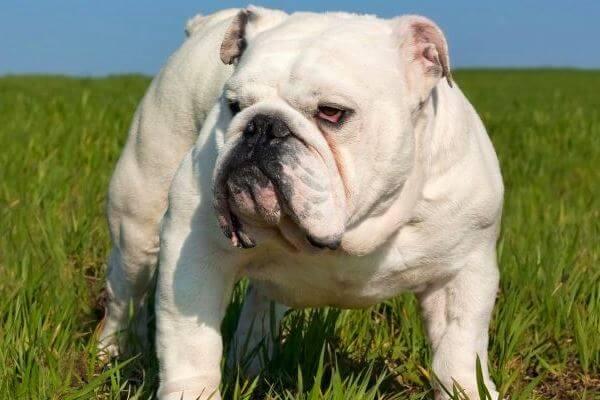 bulldog inglés taxonomía