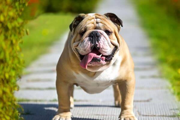 bulldog inglés pelo corto