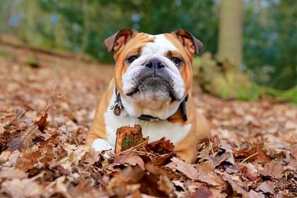 bulldog inglés raza de perro