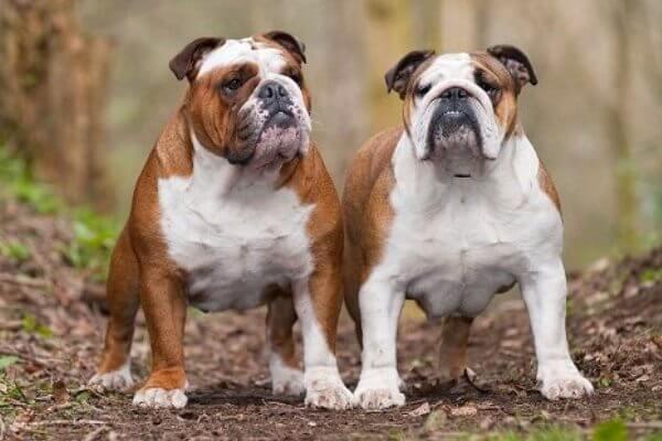 cuál es el bulldog inglés