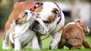 bulldog inglés variedades de colores