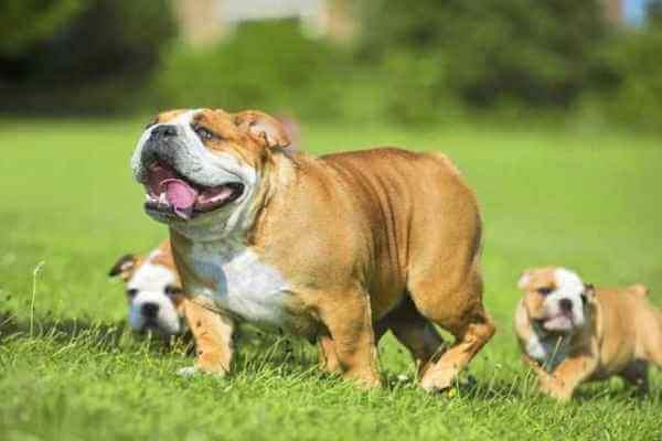 cuál es el comportamiento del bulldog inglés