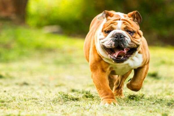 bulldog inglés propiedades