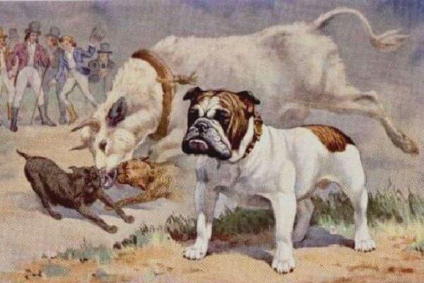 cuál es la historia del bulldog inglés