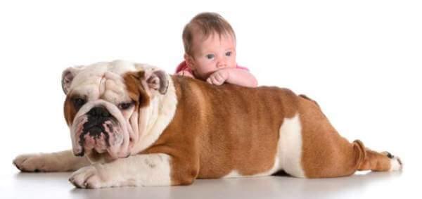 bulldog inglés y niños