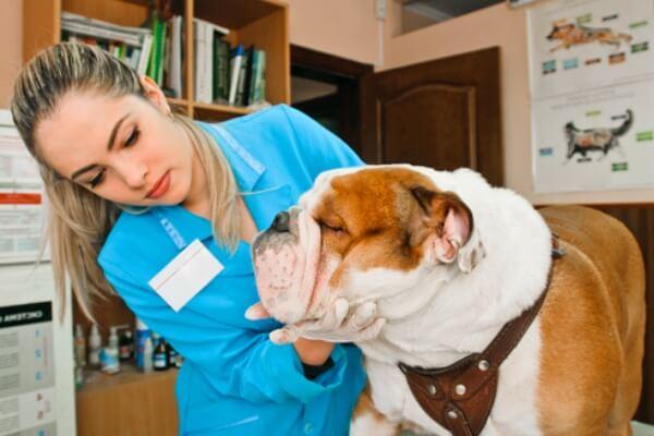 qué salud tiene bulldog inglés