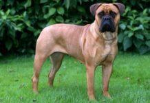 perro bullmastiff