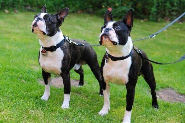 boston terrier color