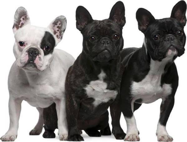 especies bulldog francés