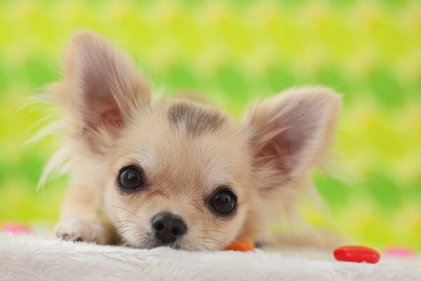 chihuahua cachorro comprar