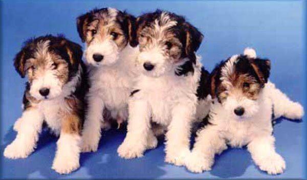 comprar cachorro fox terrier