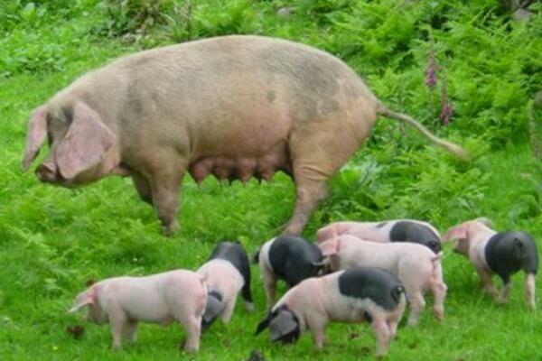 cerdo normando peso y tamaño