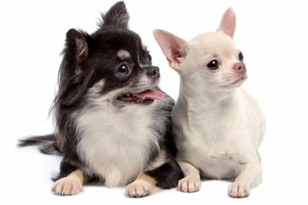 qué perro es el chihuahua